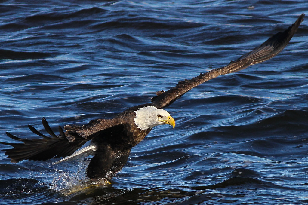 IMAGE: http://stoph.smugmug.com/Other/Bald-Eagles/eagles-with-karen-15-of-10/1188009935_rcDfs-XL.jpg