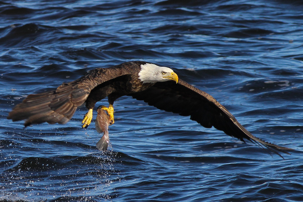 IMAGE: http://stoph.smugmug.com/Other/Bald-Eagles/eagles-with-karen-19-of-10/1188010818_qYX5F-XL.jpg
