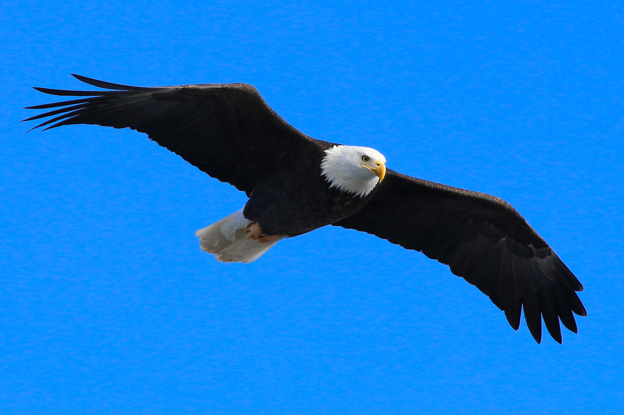 IMAGE: http://stoph.smugmug.com/Other/Bald-Eagles/i-Qc8CDhn/0/X2/IMG_2730-X2.jpg